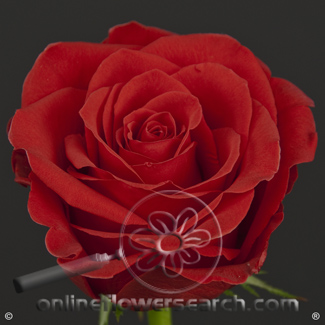 Rose Freedom 60 cm, must go with the same number of stems of colored roses - $1.88