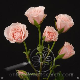 Spray Rose Light Pink - $1.52