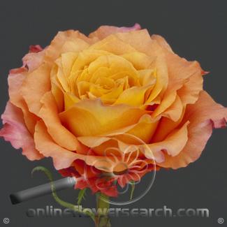 Rose Orange Crush 50 cm - $1.14