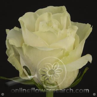 Rose Mondial 50 cm - $1.05