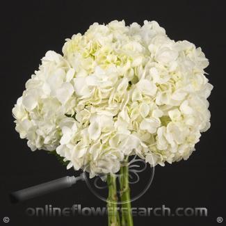 Hydrangea Select White - $1.57