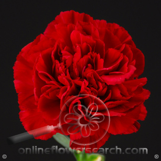 Carnation Red Select - $0.55