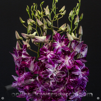 Dendrobium Butterfly