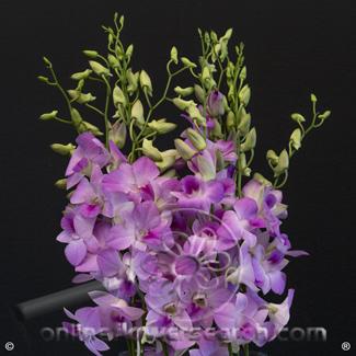 Dendrobium Honey Pink (aka Hunny Pink)