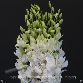 Dendrobium Micky White