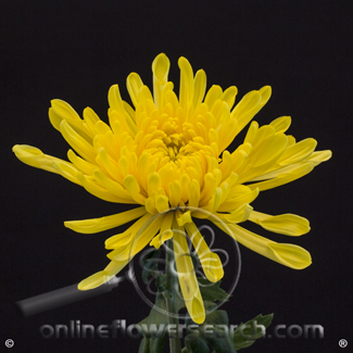 Pompon Fuji Yellow Extra Select - $6.71